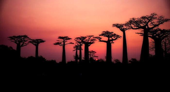 Avenija baobaba na Madagaskaru