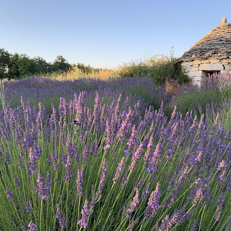 Čarobna polja lavande u Istri