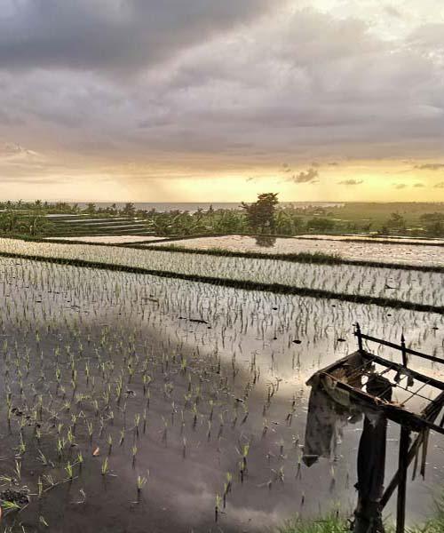 Polja riže i zalazak sunca