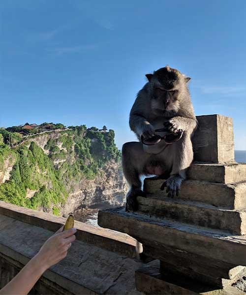 Majmun na Baliju