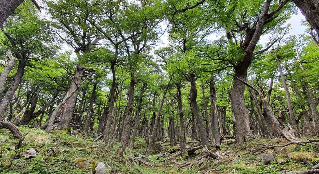 Šuma u Patagoniji