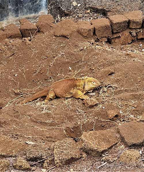 Kopnena iguana na Galapagosu