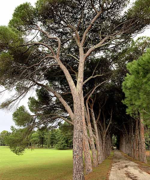 Drvored pinija na Brijunima