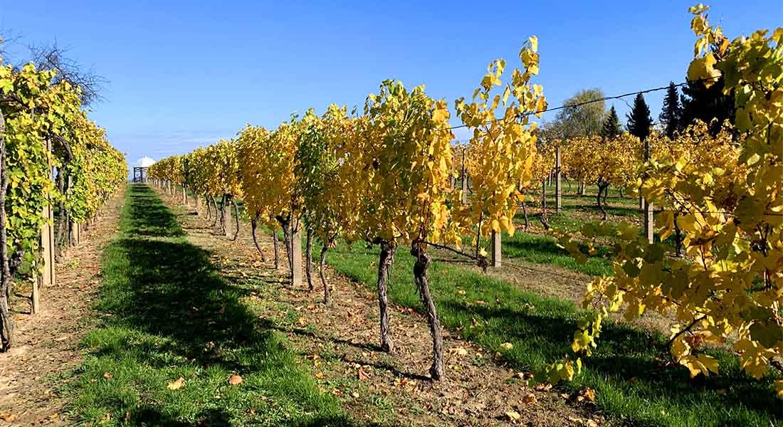 Vinogradi u Erdutu