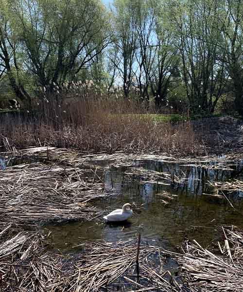 Crvenokljuni labud