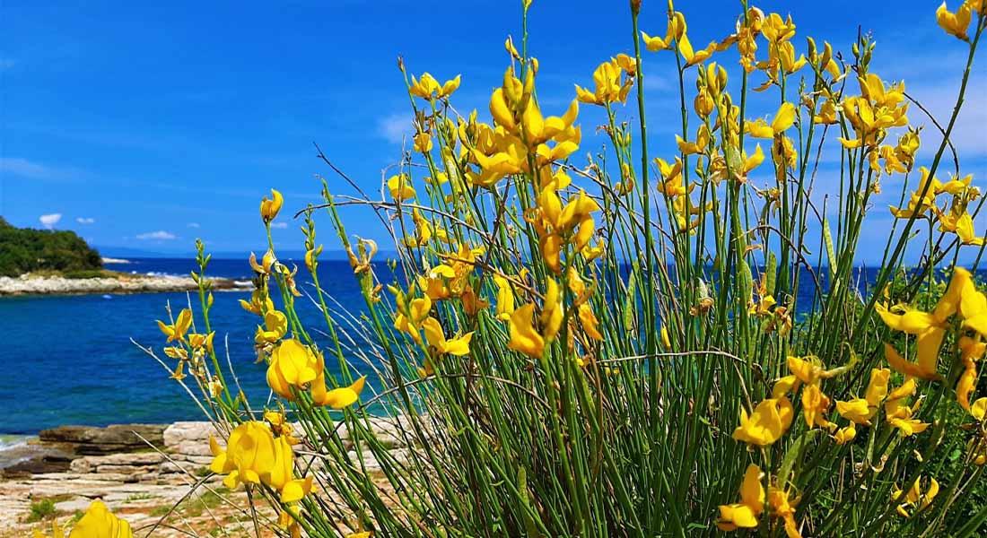 Općina Ližnjan i cvijet brnistra