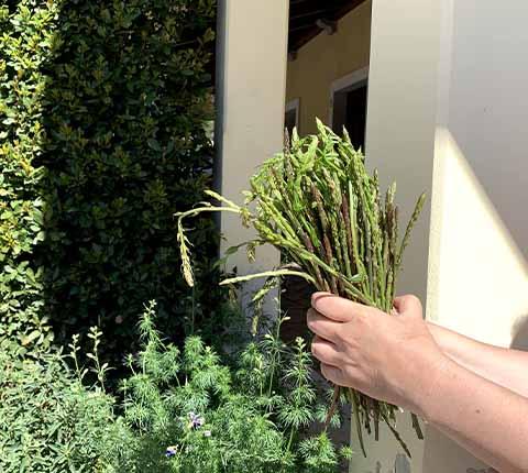 Branje šparoga u Istri: tips&tricks nakon prve berbe