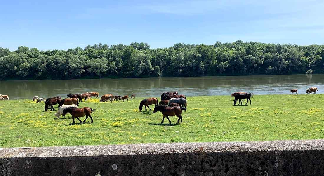 Krave i konji kraj Save