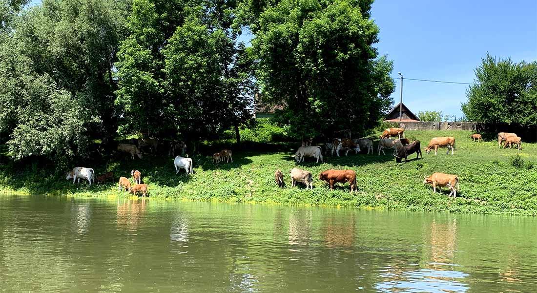 Sava u Lonjskom polju