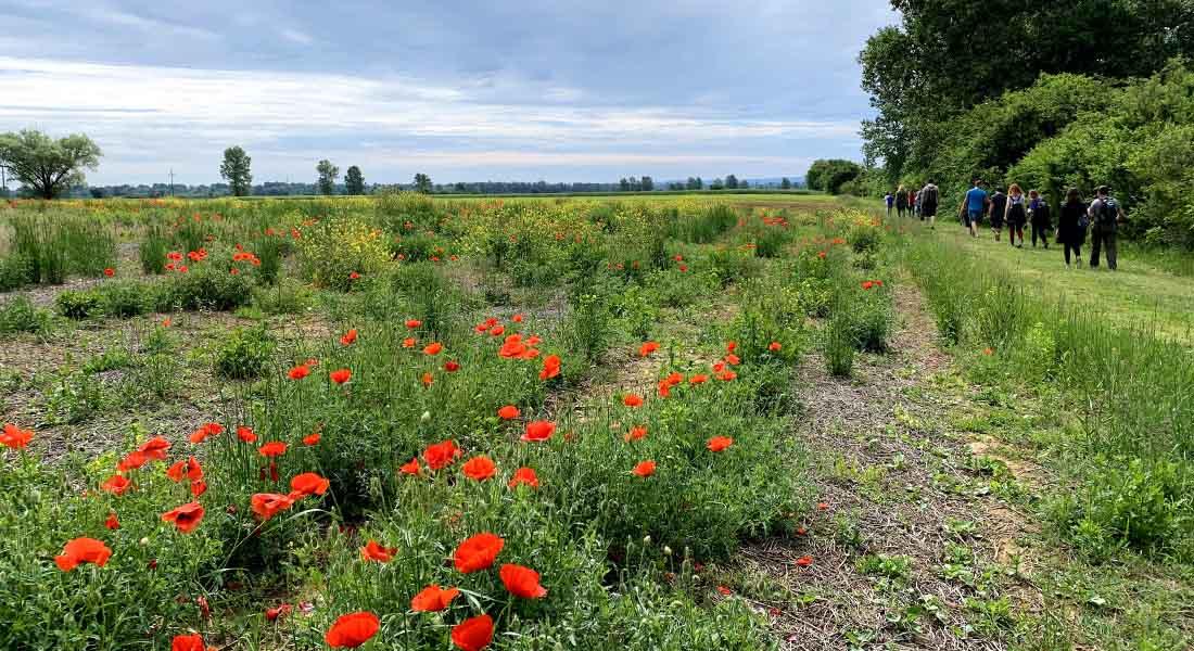 Polje makova u Lonjskom polju