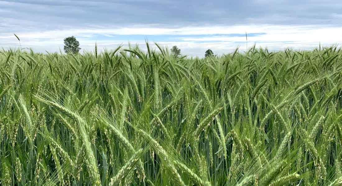 Žitno polje u Lonjskom polju