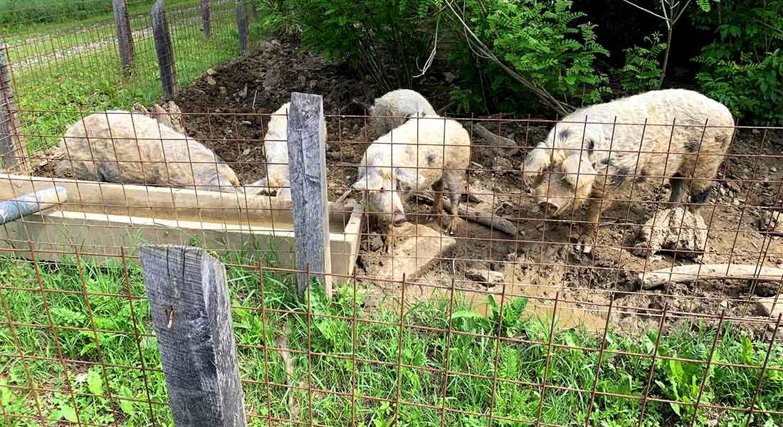Turopoljske svinje