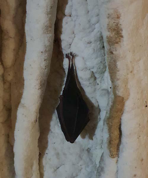 Šišmiš u Rajkovoj pećini